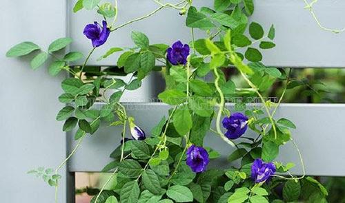 cách giảm cân bằng hoa đậu biếc