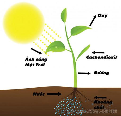 quá trình quang hợp của cây xanh